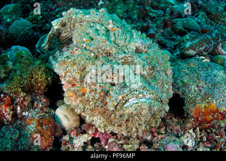 Reef stonefish or real stonefish (Synanceia verrucosa), the world's most venomous fish, Sulawesi, Indonesia - Stock Photo