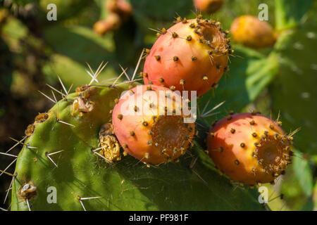 Cactus pear (Opuntia ficus-indica) with orange ferns, province Olbia-Tempio, Gallura, Sardinia, Italy - Stock Photo