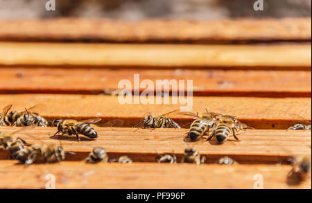 Bees on honeycomb frames in an open beehive, working bees, shallow focus - Stock Photo
