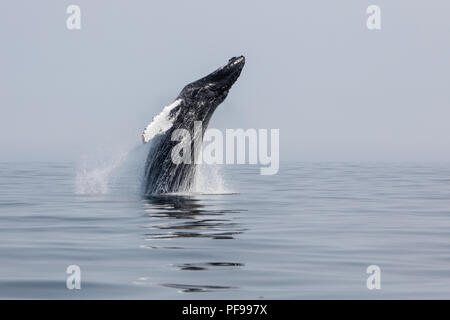 A large Humpback whale, Megaptera novaeangliae, breaches in the north Atlantic Ocean off Cape Cod, Massachusetts. - Stock Photo