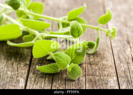 Plectranthus argentatus on wooden table. Silver spurflower.