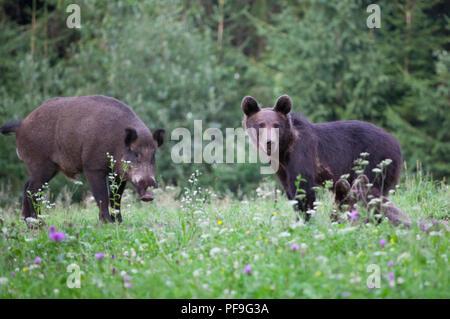 Carpathian brown bear in summer field - Stock Photo
