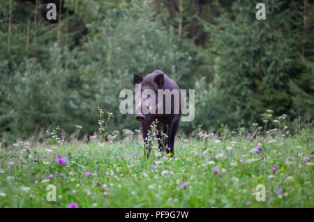 Wild boar (sus scrofa ferus) walking in summer field - Stock Photo