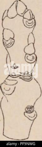 . Dictionnaire d'horticulture illustré / par D. Bois  préface de Maxime Cornu  avec la collaboration de E. André ... [et al.].. Horticulture; Dictionaries.. BOUQUETS. 1!)!) BOURGEON D'APPEL. et orientale; Podolepïs chrysaniha et gracilis; Rhodanthe Mauglesii; SchÅnia oppositifolia ; Xe- ranthemum annuum; Waitzia aurea et grandi- flora. Citons encore: dans Les Crucifères, les fruits du Lunaria biennis; dans les Caryophy liées Le Gypsopliila paniculata ; dans les Plombaginées les Statice latifolia, Limonhtm. etc.; dans Les Amarantacées le Celosia argentea et les Gom- phrena coccinea et g - Stock Photo