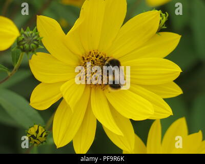 Close-up of a bumble bee searching for nectar, alighted on the centre of a yellow-petalled summer plant - Stock Photo