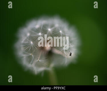 Macro Dandelion with bug - Stock Photo
