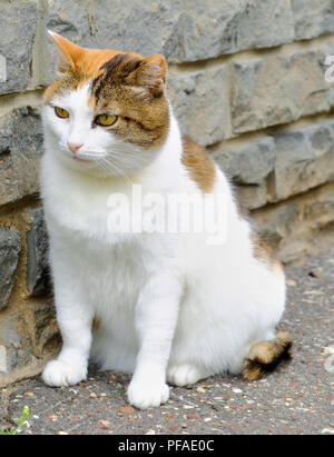 Old serious multi color ginger, white, black cat close-up outdoor portrait, brick wall background - Stock Photo