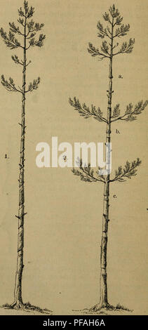. Deutsche Forstbotanik, oder, Forstlichbotanische Beschreibung aller deutschen Waldhölzer. Woody plants; Wood. 104. Please note that these images are extracted from scanned page images that may have been digitally enhanced for readability - coloration and appearance of these illustrations may not perfectly resemble the original work.. Nördlinger, Hermann von, 1818-1897. Stuttgart, J. G. Cotta - Stock Photo