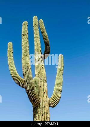 A Saguaro in the Superstition Mountains in Arizona, USA - Stock Photo