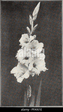 . Descriptive list : gladiolus and delphiniums. Nurseries (Horticulture) Vermont Burlington Catalogs; Nursery stock Vermont Burlington Catalogs; Bulbs (Plants) Vermont Burlington Catalogs; Gladiolus Vermont Burlington Catalogs; Delphinium Vermont Burlington Catalogs. / have lots of testimonials but no room for them this year. A. E. KUNDERD. (K) Very large salmon pink with dark blotch. Heavily ruffled. ALBANIA. (Kemp) Large clear white. Several open. This is considered about the best midseason white at the price. Good commercial. ALBERT FIRST. (Vilmorin) Creamy shell pink, long spike. Several o - Stock Photo