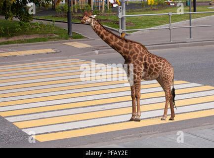 Giraffe standing on zebra traffic pedestrian crossing on road - Stock Photo