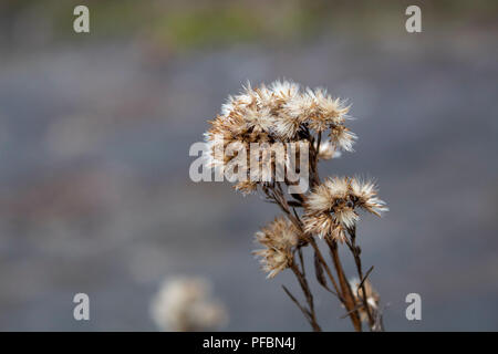 Seed parachute of a dried flower - Stock Photo