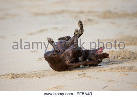 Chocolate labrador retriever rolling on its back in sand with legs up in air - Stock Photo