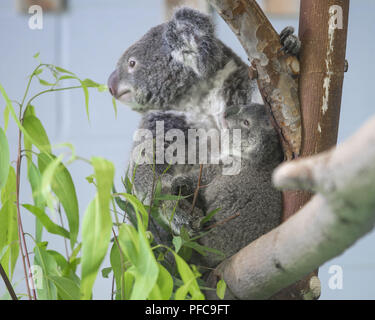 Nanjin, Nanjin, China. 21st Aug, 2018. Nanjing, CHINA-Koalas can be seen at the Hongshan Forest Zoo in Nanjing, east China's Jiangsu Province. Credit: SIPA Asia/ZUMA Wire/Alamy Live News - Stock Photo