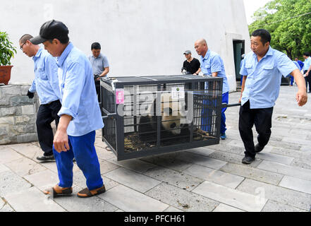 Changchun, Jilin, China, 21th August 2018. Two sub-adult female giant pandas, Chuxin and Muyun, just two years old, left the Dujiangyan base of the China Giant Panda Conservation Research Center to settle down in the Northeast Tiger Garden in Jilin Province. Credit:Costfoto/Alamy Live News - Stock Photo