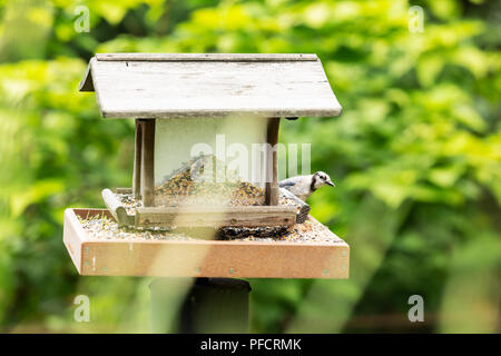 A blue jay (Cyanocitta cristata) peeking out from behind a bird feeder. - Stock Photo