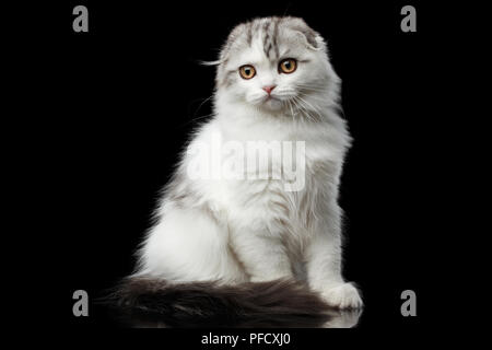 Furry white scottish fold highland breed kitten with tabby sitting and curious looks isolated black background - Stock Photo