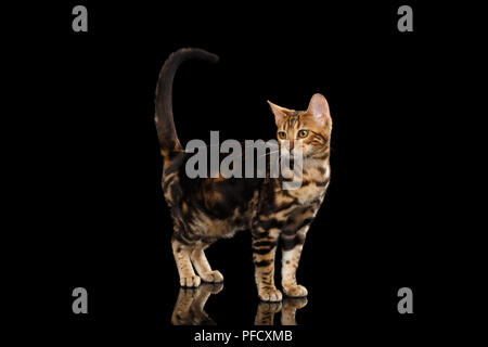 Little Bengal female Cat Standing and Raise tail on Isolated Black Background, Side view - Stock Photo