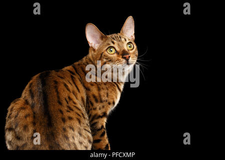 Close-up Curious Face of Bengal female Cat with beautiful spots on Back, Sitting and Looking up with Interest, Isolated Black Background - Stock Photo