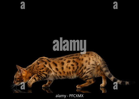 Hunts Gold Bengal female Cat crouching with beautiful Spots, Walking on Isolated Black Background, Side view - Stock Photo