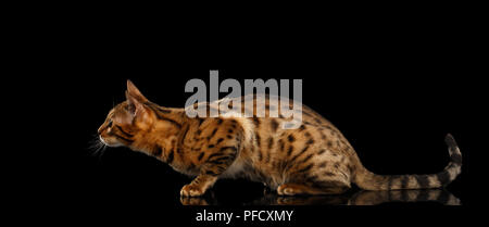 Hunts Gold Bengal female Cat crouching with beautiful Spots, waiting on Isolated Black Background, Side view - Stock Photo