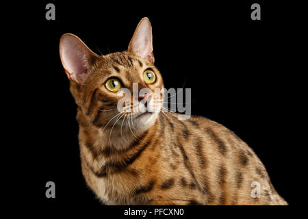 Close-up Curious Face of Bengal female Cat with beautiful spots on Back, Looking up with Interest, Isolated Black Background, Front view - Stock Photo