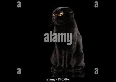 Black Scottish Fold Cat with Yellow eyes Sitting and Looks Curiously Isolated on Black Background, Front view - Stock Photo