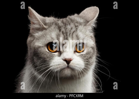 Closeup Portrait of Gray Scottish Straight Cat Looks Pained Isolated on Black Background - Stock Photo
