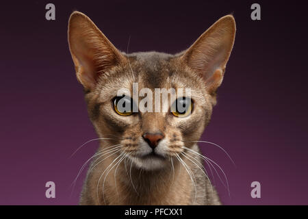Close up Portrait of beautiful abyssinian Cat on purple - Stock Photo