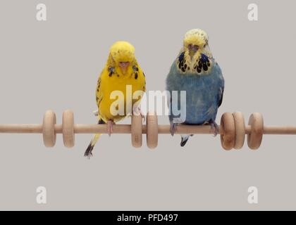 Two budgies, one yellow and the other blue, sitting side by side on a perch with wooden rings on it, front view - Stock Photo