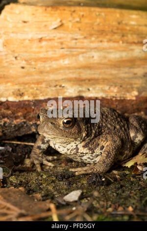 A common or european toad, Bufo bufo, photographed at night in a garden in Lancashire North West England UK GB - Stock Photo