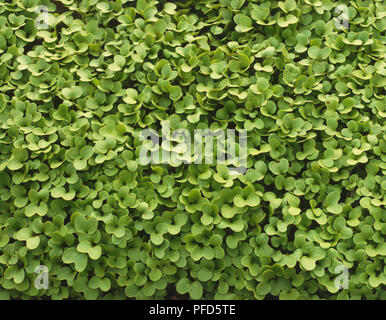 Bed of Brassica hirta, White Mustard, close up, view from above - Stock Photo