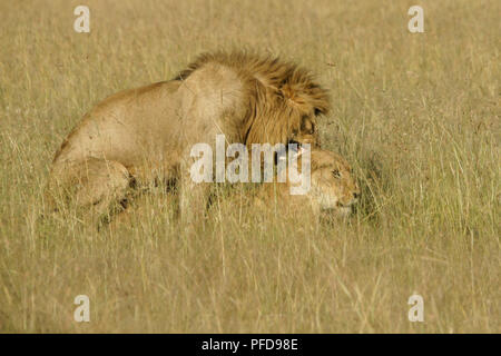 Lions mating in long grass, Masai Mara Game Reserve, Kenya - Stock Photo