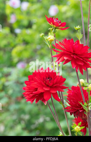 Dahlia 'Edwin's sunset' in an english garden. UK. Red Waterlily type Dahlia - Stock Photo