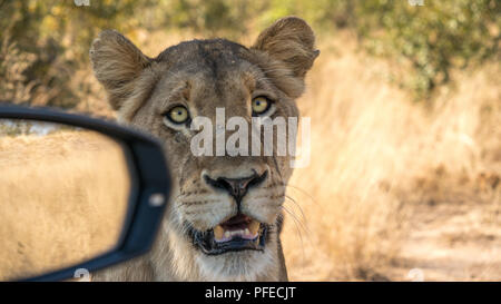 Female lion sitting next to car with the mirror in shot. She is so close she is nearly in the car, shot on safari. - Stock Photo