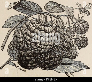 . Descriptive catalogue of fruit trees small fruits, etc.. Nursery stock, California, Catalogs; Fruit trees, California, Catalogs; Fruit, California, Catalogs. FRUIT DEPARTMENT. 45. HANSELL RASPBERRY.  Kittatinny—Fruit large, roundish conical, rich glossy black ; firm, juicy, sweet, and excel- lent ; the variety almost exclusively planted in this vicinity for market. Lawton—Fruit large ; ripens late ; very productive. » Snyder—A very hardy variety, extensively cultivated in the Western States, v Wilson's Early—A hardy, productive sort; very large and early. Wilson Junior—A seedling of Wilson' - Stock Photo