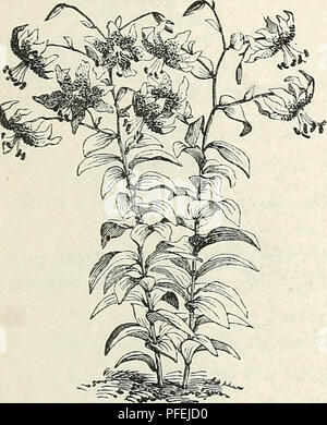 . Descriptive catalogue of ornamental trees, shrubs, hardy perennial plants, etc. : twenty-fifth edition. Ornamental trees Catalogs; Shrubs Catalogs; Roses Catalogs; Flowers Catalogs. LILIUM LONGIFLORUM. Ti, lancifolium rubriini. White, spotted with crimson. 25 cents. Ij. tigrinum. Tiger Lily. Orange salmon, spotted black. 20 cents. L. tigrinuin flore pleno. Flowers double, orange red, spotted with black. 25 cents. L. tigrinum splenclens. Larger and finer than those of the type. 25 cents. Li. unibellatuni. Vivid orange, spotted. 15 cents. var. atrosanguineum. 15 cents. MISCELLANEOUS BULBS FOR  - Stock Photo