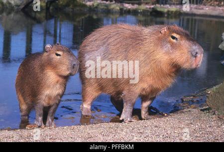 Adult and junior capybara (Hydrochoerus hydrochaeris) standing on water's edge - Stock Photo