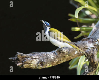 Blue-faced honeyeater (Entomyzon cyanotis), Julatten, Atherton Tablelands, Far North Queensland, FNQ, QLD, Australia - Stock Photo