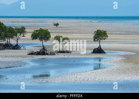 Coastal mangrove with roots exposed at low tide, Yule Point near Port Douglas, Far North Queensland, FNQ, QLD, Australia - Stock Photo