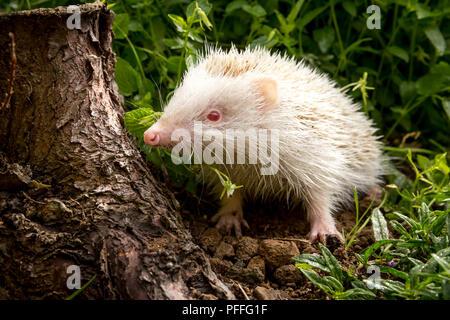 Hedgehog, rare, wild, native, albino hedgehog with pink eyes, nose and paws in natural habitat.  Scientific name: Erinaceus europaeus. Horizontal. - Stock Photo
