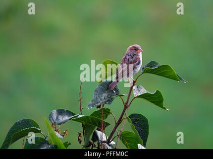 female house sparrow perched on a branch - Stock Photo