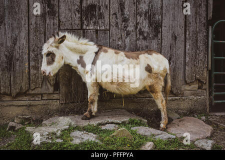 Brown and White Miniature Donkey in Front of Barn - Stock Photo