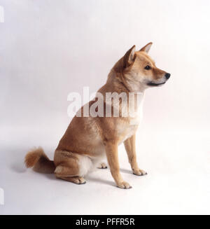 Ainu inu dog, sitting, side view - Stock Photo