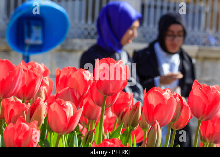Pink tulips close up Istanbul street  during the Tulip festival, veiled womans and a phone box in the background - Stock Photo