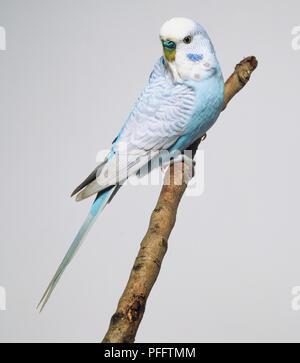 Grey-winged blue Budgerigar (Melopsittacus undulatus), perching on a branch - Stock Photo