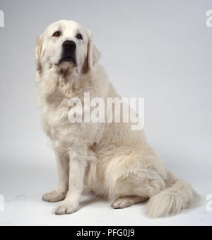 A burly Tatra mountain sheepdog with a dense coat of thick white fur, sitting on its haunches, looking frontwards - Stock Photo