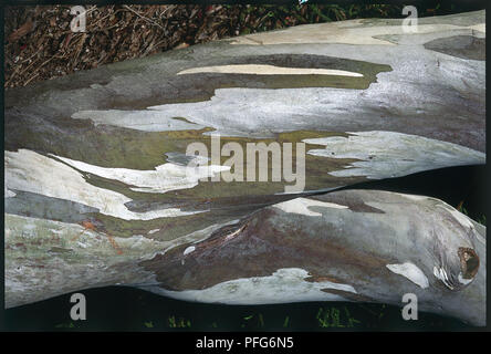 Variegated bark of Eucalyptus pauciflora ssp niphophila (Alpine snow gum), close-up - Stock Photo