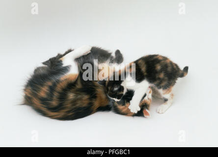 One kitten fight's with it's mother whilst another suckles - Stock Photo