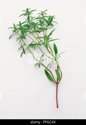 Summer savory - stem with leaves - Stock Photo